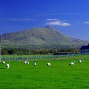 Sheep in field with view of Croagh Patrick, Co. Mayo, Ireland